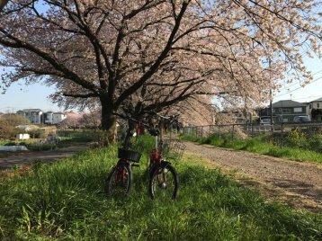 Khám phá hoa anh đào ở vùng nông thôn Saitama